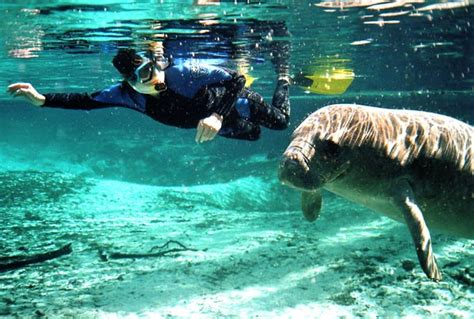 crystal river boat tours swim with manatees in crystal river florida manatee tours