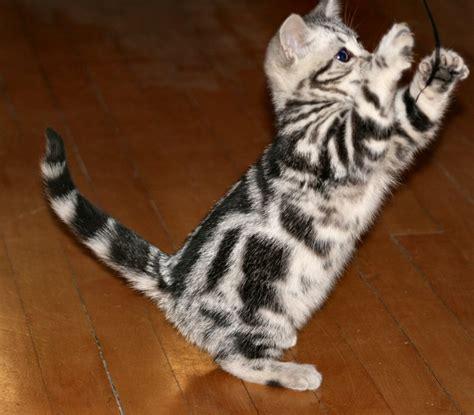 american breeds american shorthair cat breed
