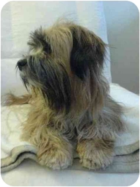 tibetan names for shih tzu fiona adopted montreal and area qc tibetan terrier shih tzu mix
