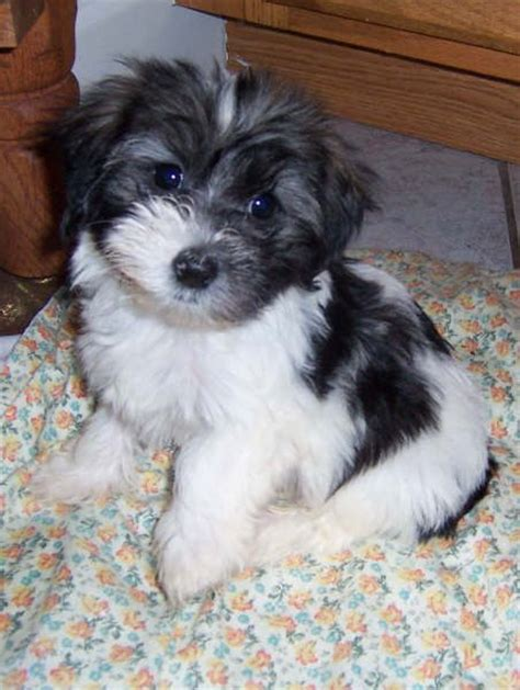 havanese health problems 138 best havanese dogs images on puppies cubs and havanese dogs