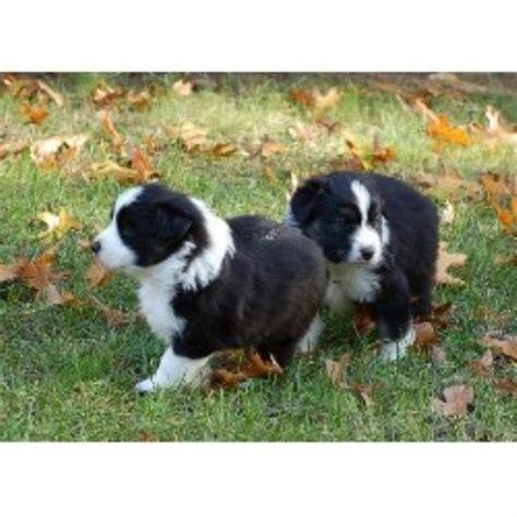 free boxer puppies in michigan treesong australian shepherds australian shepherd breeder in hamilton michigan