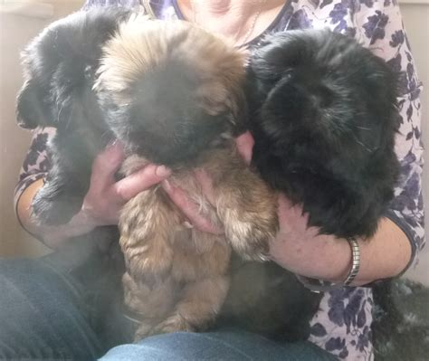 shih tzu puppies for sale coventry pedegree shih tzu puppies for sale coventry west midlands pets4homes
