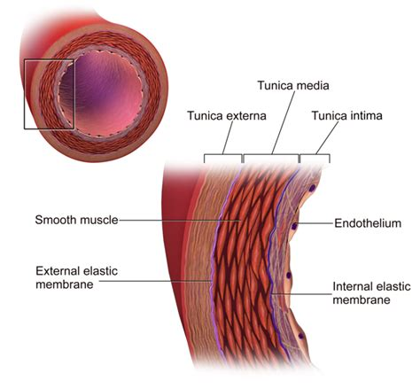 diagram of the blood vessels blood vessel structure and function boundless anatomy