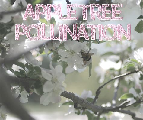 apple tree pollination sleeping bear farms
