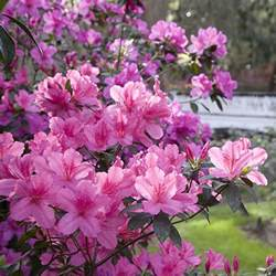 azalea bush colors azaleas fertilization and care after blooming tom s