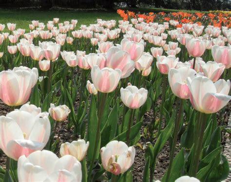 bulbi di tulipano in vaso giardinaggio i bulbi di tulipano segreti di coltivazione