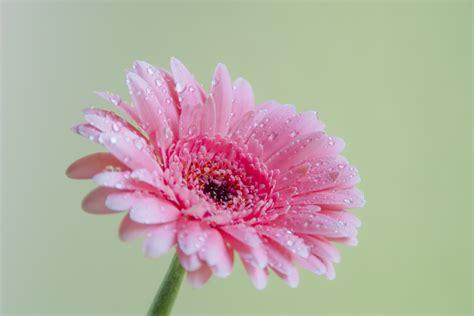 imagenes de gerberas blancas free 非洲菊粉色 stock photo freeimages com