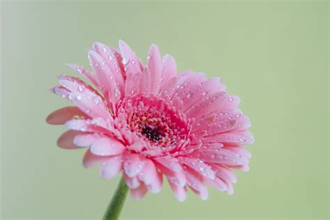 comprimir imagenes jpg on line free 非洲菊粉色 stock photo freeimages com