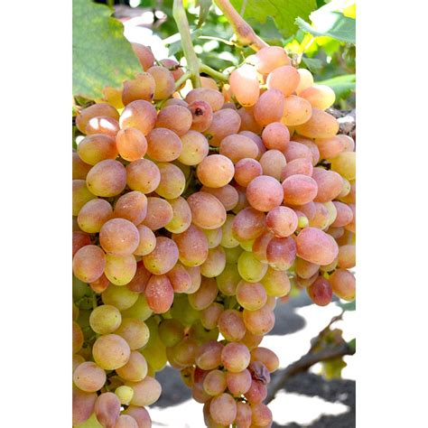 livia table grape vine