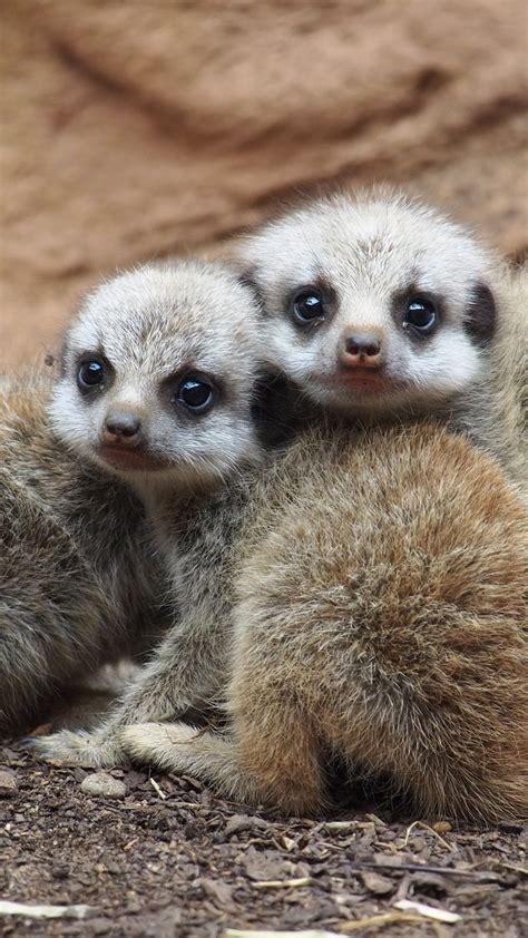 wallpaper meerkat suricate namib desert namibia animal