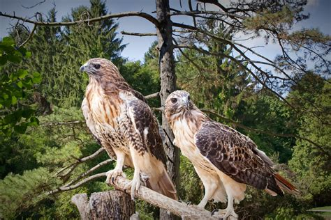 fine art prints for sale red tail hawk pair in a west