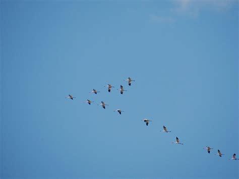 whooping crane flock over lake waco
