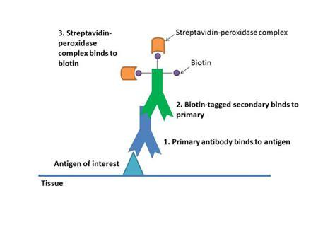 streptavidin protocol immunohistochemistry immunocytochemistry immunogold
