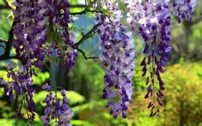 coltivare glicine in vaso glicine variet 224 coltivazione e cura di questa pianta