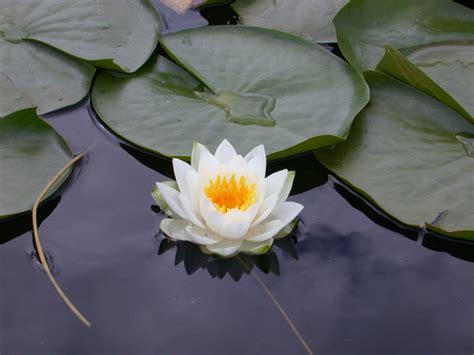 a lotus lotus flower