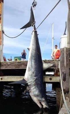 mako boats geelong world sharks news shark mako isurus oxyrinchus