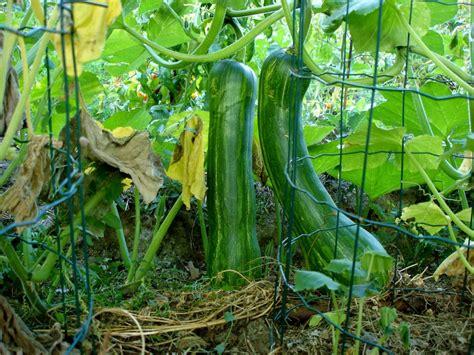 Planter Des Courgette by Comment Cultiver Les Courgettes