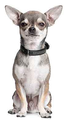 how to potty a chihuahua puppy how to a chihuahua to potty outside chihuahua tips