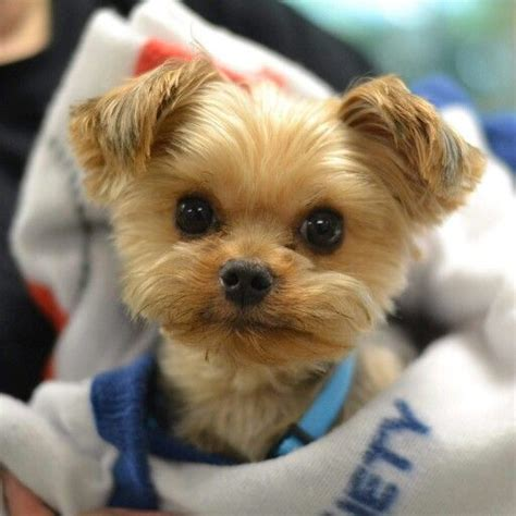 spoiled rotten yorkies 25 best ideas about yorkie hairstyles on puppies