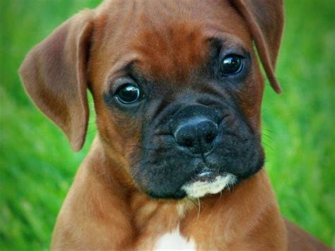 boxer puppies for sale missouri midwest boxers boxer puppies for sale