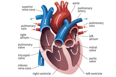 heart cross section diagram function of the heart ventricles