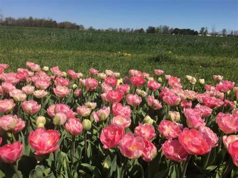 Veldheer Tulip Gardens by An Explosion Of Colorful Tulips What S Not To