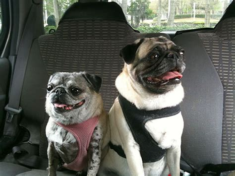 pugs in the car the pug tags car owned by pugs