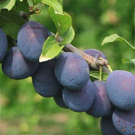 damson fruit trees damson bradleys king buy king of the damsons tree
