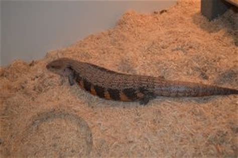 Do Blue Tongue Lizards Shed Their Skin by Blue Tongued Skink Facts Habitat Diet Pet Care Babies Pictures