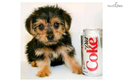 4 pound yorkie small breeds 5 pounds breeds picture