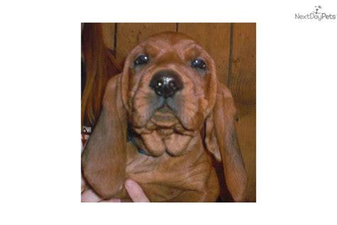 coonhound puppies for sale redbone coonhound breeds picture