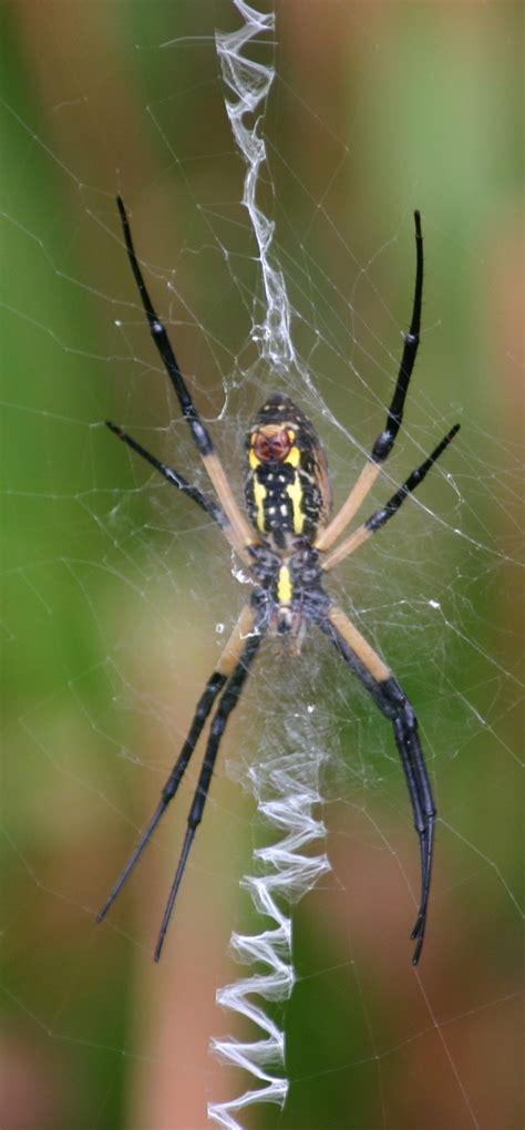 Garden Spider Identification Spider Identification Guide