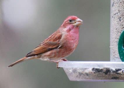 purple finch identification all about birds cornell