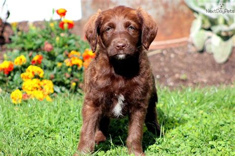 labradoodle puppies for sale in houston meet houston a labradoodle puppy for sale for 575 houston labradoodle