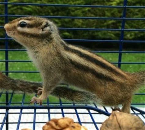 scoiattolo volante giapponese il tamia prezzo carattere e allevamenti pet magazine