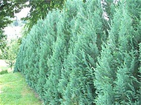 scheinzypresse pflege scheinzypresse als heckenpflanze vorsicht sehr