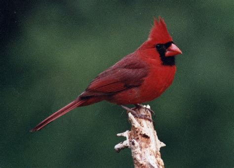 northern cardinal wallpapers