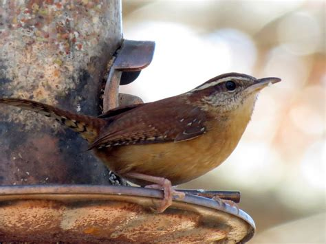 birdseyeviews winter 2015 backyard birds