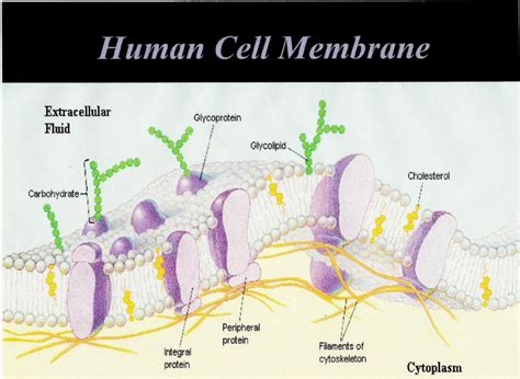 human cell membrane  curezone image gallery