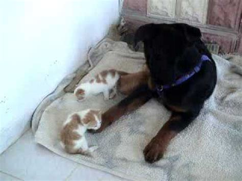 are rottweilers with cats rottweiler quot quot with cats