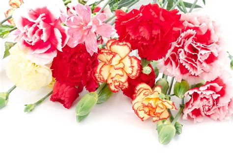 facts about carnations carnations facts archives flower pressflower press