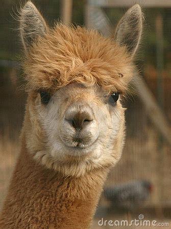 staring alpaca stock  image