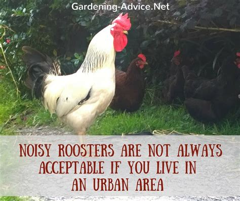 is keeping backyard chickens for you