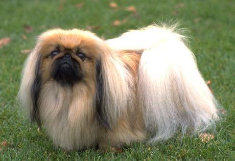 perro piso peque o las 25 mejores ideas sobre razas de perro peque 241 o en