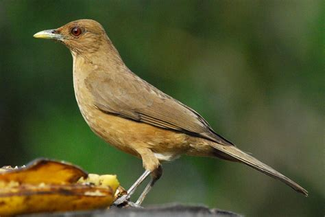 clay colored thrush clay colored thrush introduction neotropical birds