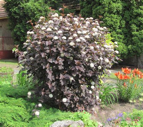 physocarpus opulifolius diabolo physocarpus opulifolius diabolo donkerbladige blaasspirea