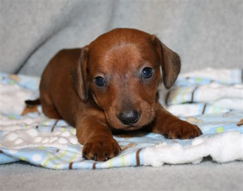 dachshund puppies nc brindle dachshunds breeds picture