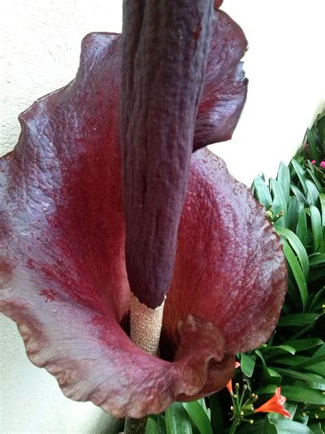 snake lily amorphophallus konjac