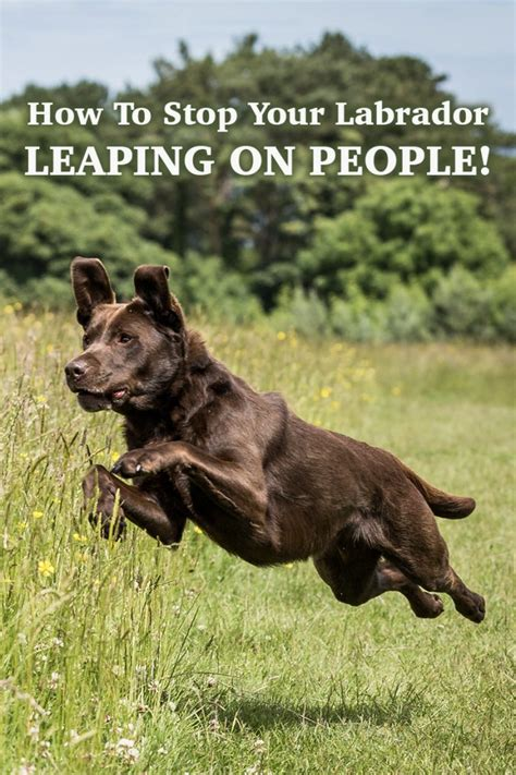 no more jumping up stop your labrador leaping on