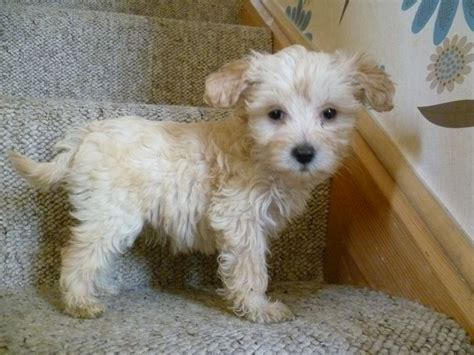 miniature puppies crested x miniature poodle puppy mansfield nottinghamshire pets4homes